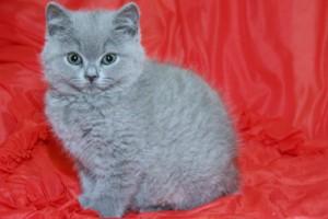 britská modrá kočka - kotě
